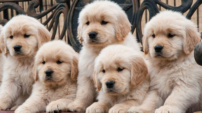 golden-retriever-puppies15